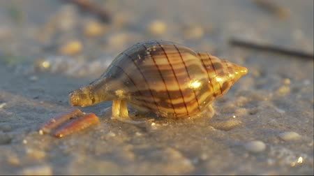 hides : Cancer hermit quickly hides in the seashell. Small hermit crab in the sand. Hermit crab walking along beach with waving sea blurry background. Hermit Crab in a screw shell. Warm light toned.