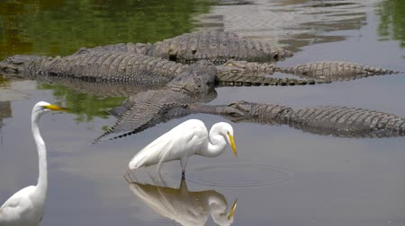 Нил : Many wild crocodiles swimming in turbid water. Group of predator reptiles floating in a river. Dangerous hungry animals waiting for prey. American alligators lie in the swamp, next to the herons.