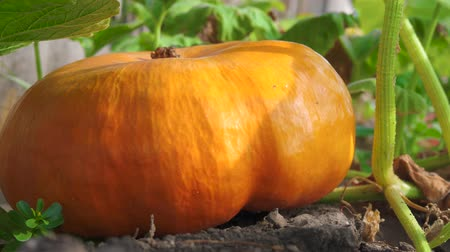 fruitful : Orange flat-shaped pumpkin in a natural environment. Pumpkin growing in a vegetable garden. Big orange pumpkins growing in the garden. Stock Footage