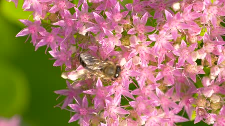 Bee collects nectar on blossom pink flower with many pollen. Macro of bee gathering pollen from Milkweed in field. Top view. Stock Footage