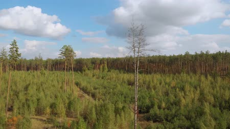 чаща : Drone takes off over a young forest with small trees, amid a dense pine forest with tall trees. Coniferous forest. Seedlings of coniferous forest. Reforestation, the camera moves around. Eco concept. Стоковые видеозаписи
