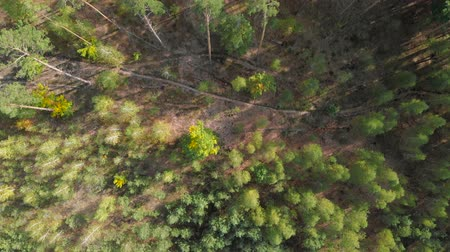timberland : 4K aerial of flying over coniferous green forest in a rural landscape. Pine forest with paths and edges, view from the top down. Background of green trees in the coniferous forest. Stock Footage