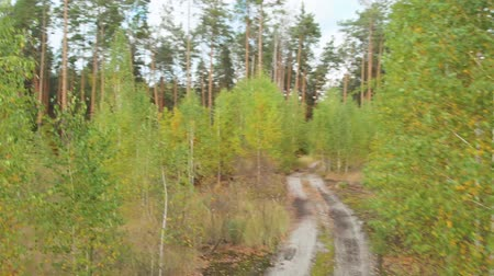 konzervált : Seedlings near tall conifers. Landscape forest path leads through the forest area in early autumn. A dirt sand road with puddles leads to the coniferous forest. Path leading to the depth pine forest.