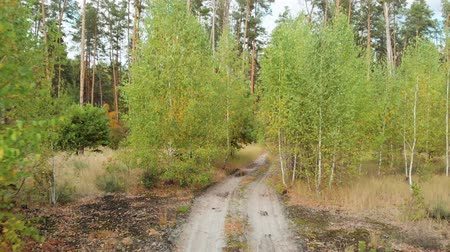 preservation : Birch seedlings near tall conifers. Autumn forest, the path leading to the depth pine forest. Move back along a forest road between small birches. Sandy road for cars leading to the forest.