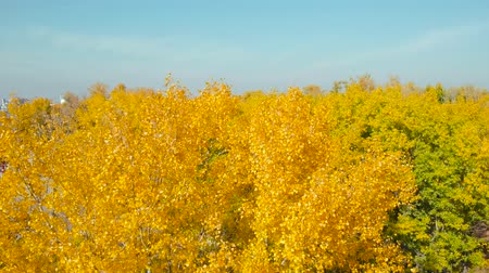 Yellow autumn leaves. City park in autumn. Autumn at the morning park. The tops of trees with yellow leaves on a bright sunny day on a background of blue clear sky. Stock Footage