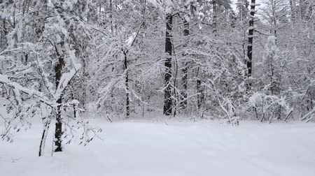 Snow-covered winter forest. Camera moves among snow-covered trees during snowfall in forest at winter day. Flying camera 4K footage. View from the bottom. Snowy road in winter forest moving forwards. Stock Footage