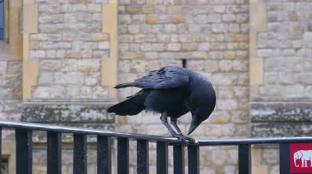 mítosz : Crows Legend Tower London. Raven at the Tower of London perched on black iron railings with stone wall background. Raven on a balcony of Tower of London. Raven in Tower of London, UK.