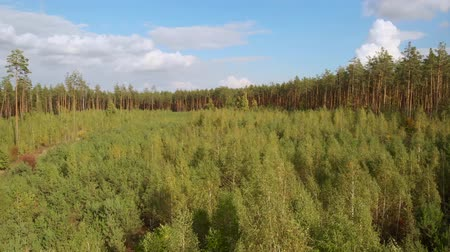 Low drone flight over young small trees in a summer coniferous forest. The young forest is surrounded by large pine trees of a pine forest. Forest reclamation with small coniferous seedlings.