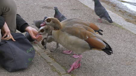 csip : Close-up of a woman feeding duck on the shore of a lake. Human hand feeding ducks. A woman takes food from a bag and feeds ducks from her hands, pigeons try to steal food.