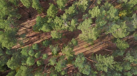foresta conifere : Flight above green forest, aerial top view. Drone flies over pine forest. Aerial view of summer background with pine forest. View down from a pine forest.