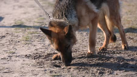 cheirando : A trained dog is looking for mines in the ground. Mine clearance with dogs. The dog helps to search for mines in the ground. Mine clearance concept with service dogs.