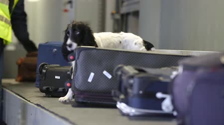 cheirando : Dog with border guards detector of drugs and other prohibited items in bags on a conveyor belt at the airport. Border dog searches for drugs in baggage. Border dog sniffing suitcases at the airport. Stock Footage