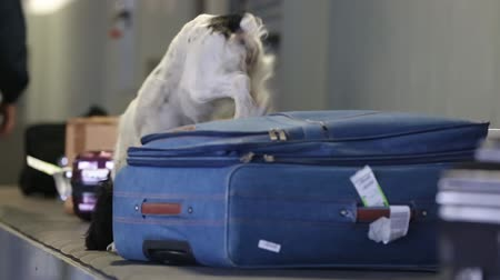 gümrük : Border dog searches for drugs in baggage. Drug detector dogs are used at airport to detect drugs hidden in luggage. A trained dog sniffs suitcases to detect illegal substances, drugs and explosives. Stok Video