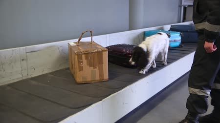 trained : Dog with border guards detector of drugs and other prohibited items in bags on a conveyor belt at the airport. Drug detector dogs are used at airport to detect drugs hidden in luggage. Handheld shot. Stock Footage