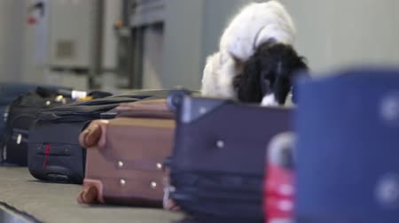 personalizado : Border dog on a conveyor belt at the airport. Border dog sniffing bags of passengers and looking for drugs and explosives in luggage cargo area. Border dog searches for drugs in baggage. Closeup video Vídeos