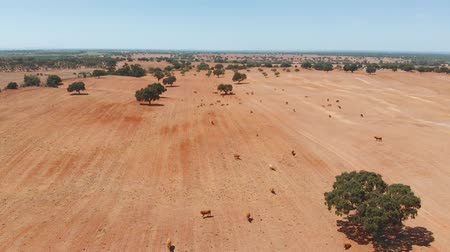 rinder : Cows graze on pasture in the dry climate of Portugal and Spain. Group of brown cow breed standing in the field of dry grass. Aerial view cows grazing on dry grass field at pasture farm. Aerial video.