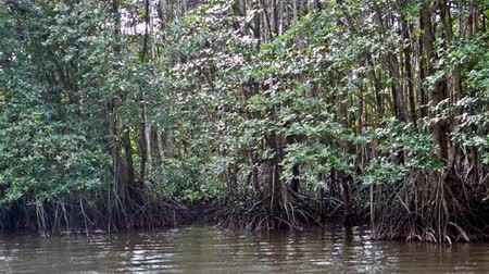 tropikal iklim : mangrove forest trees in thailand Stok Video