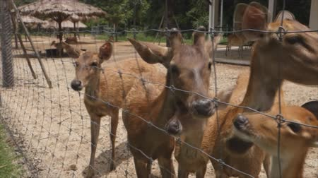 geyik : hand feeding a group of deers in a farm Stok Video