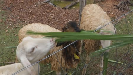 cabra : Goats eating Napier or elephant grassgrass