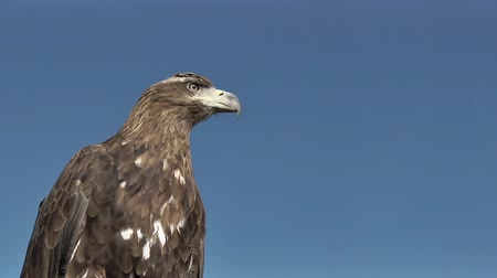 young bird : Golden Eagle Aquila chrysaetos is observing a target on on a windy and sunny day with beautiful blue sky in the mongolian steppe.