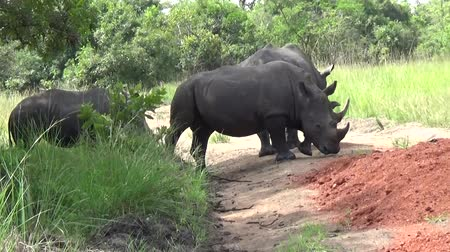 white rhino : Group of White Rhinos in a Reserve, Uganda. Stock Footage