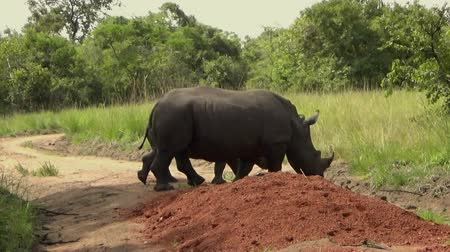 zambia : Group of White Rhinos in a Reserve, Uganda. Stock Footage