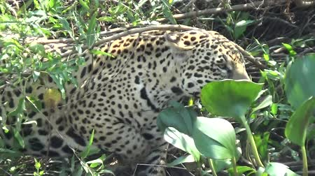 panthers : Female jaguar moves along the bank of the Cuiab? river, Pantanal, Brazil.