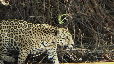 panter : Female jaguar moves along the bank of the Cuiab? river, Pantanal, Brazil.