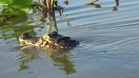 crocodilo : A caiman hunts in the Rio Cuiaba, Pantanal, Brazil. Vídeos