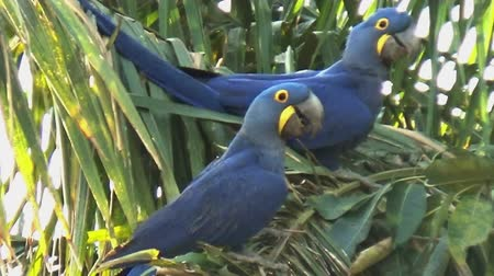 sümbül : Pair of Hyacinth macaw on a palm tree, Pantanal. Stok Video