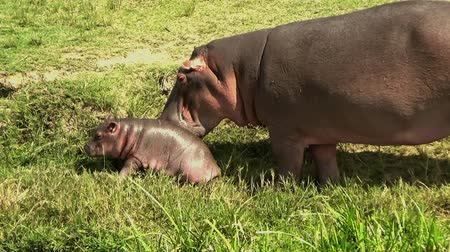 víziló : Rare scene showing a female hippopotamus with her baby feeding off the water, Kazinga channel, Uganda. Stock mozgókép