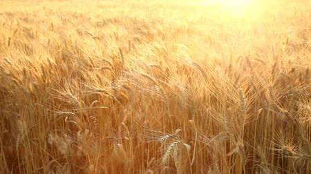 buğday : Wheat field