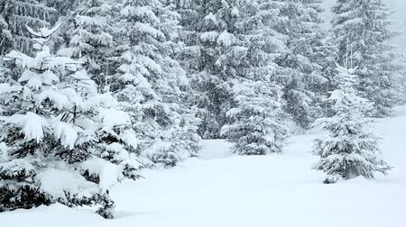 Украина : Snow covered fir trees in mountains with snowfall Стоковые видеозаписи