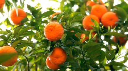 orange background : Branches with the fruits of the tangerine trees Stock Footage
