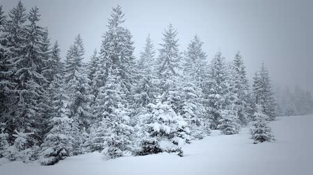 Украина : Snow covered fir trees in mountains