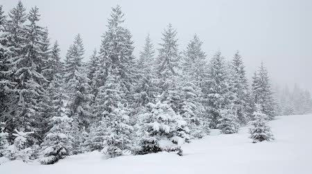 Украина : Snow covered fir trees. Snowfall