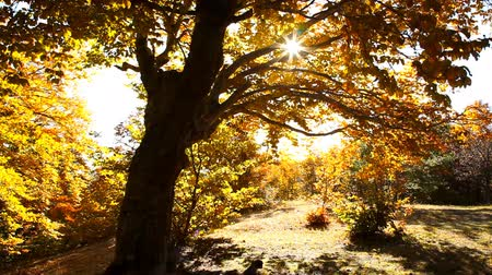 ventoso : Autumn trees in the park Stock Footage
