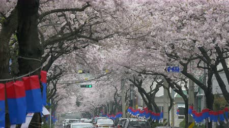 saray : Cherry blossom tree in spring time in south Korea.