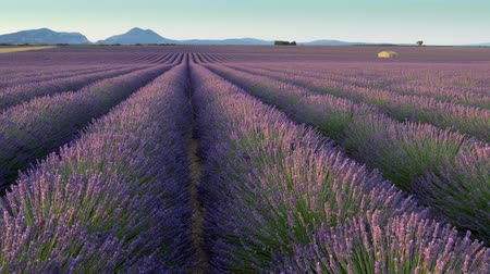 levandule : Panning shot of lavender field in the morning. Valensole Plateau. Provence, France