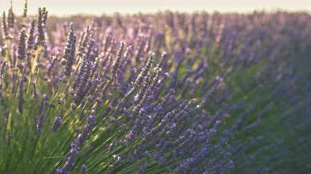 levandule : Close-up shot of a bee and lavender flowers waving in the wind during gentle morning sun. 4K, UHD