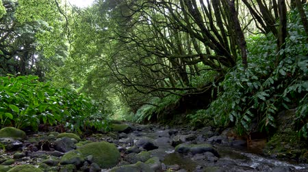 the azores : Gimbal shot of a rainforest. 4K, UHD