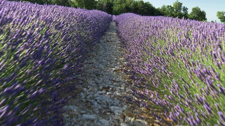 lavender field : Gimbal shot of a lavender field in Provence, France. 4K, UHD