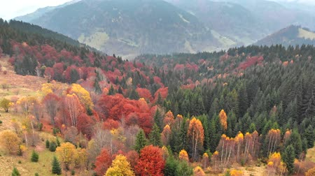 osika : Autumn concept. Aerial shot of multi-colored coniferous pine trees in autumn misty mountains. 4K, UHD