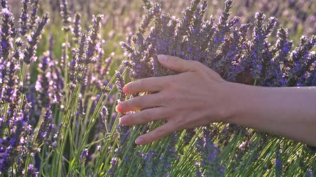 levandule : Womans hands slowly and gently caressing purple lavender flowers in the morning sun. A lavender field in Provence, France. Slow motion close-up shot