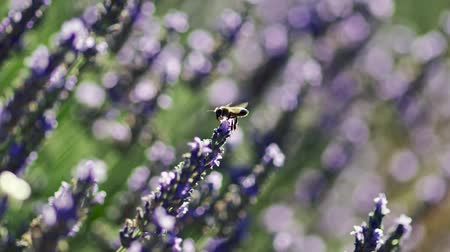 honeybee : Bee taking off from a lavender flower during a bright sunny day. Provence, France. Slow motion shot Stock Footage