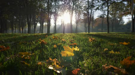 wrzesień : Autumn park at sunrise. Bright rays of sun coming through trees in a park. Trimmed grass and some yellow leaves. UHD