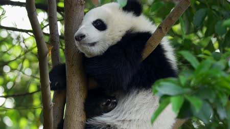 dev : Baby panda dozing off. A funny panda bear falling asleep sitting on a tree in the green. UHD Stok Video