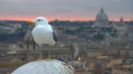 White seagull in Rome, Italy. Old Rome and St Peters Cathedral In Vatican after sunset at background. 4K, UHD