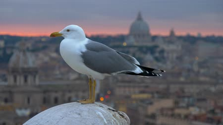 Rome, Italy. A sea-gull standing on the tip of a sculpture. Sunset city is seen in the background, including the dome of St. Peters Basilica in Vatican City. Panning shot, UHD Стоковые видеозаписи