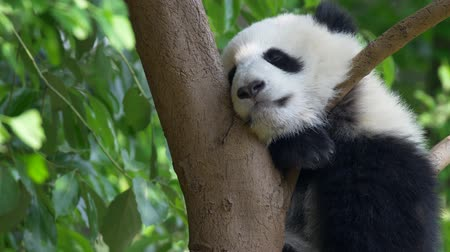 Noon sleep of the baby panda sitting on a tree with green lush flora in the background. 4K Stock mozgókép